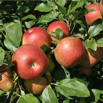 Fresh Red Fuji Lebanese Apples Available For Export